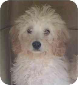 Pomeranian/Poodle (Miniature) Mix Puppy for adoption in Oak Ridge, New Jersey - Xylander