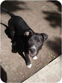 American Pit Bull Terrier/American Staffordshire Terrier Mix Puppy for adoption in Dallas, Texas - Little Mama