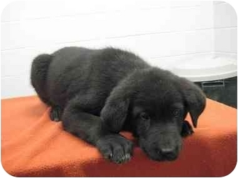 Labrador Retriever/Collie Mix Puppy for adoption in Florence, Indiana - Buzz