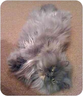 Persian Cat for adoption in Beverly Hills, California - Willow