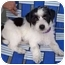 Photo 1 - Lhasa Apso/Terrier (Unknown Type, Small) Mix Puppy for adoption in Los Angeles, California - CELINE