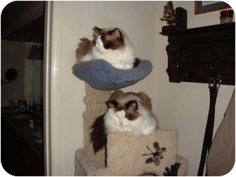 Ragdoll Cat for adoption in Palm Springs, California - Beau & Beppe