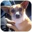 Photo 1 - Corgi/Chihuahua Mix Dog for adoption in Porter Ranch, California - Rockee Starr(PRA)