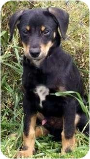 Doberman Pinscher Mix Puppy for adoption in Groton, Massachusetts - Buster