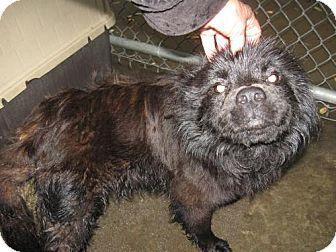 Chow Chow Mix Dog for adoption in Henderson, North Carolina - Alaska