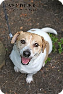 Jack Russell Terrier/Beagle Mix Dog for adoption in Cincinnati, Ohio - Ralphie: Covedale