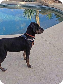 Labrador Retriever/Coonhound Mix Dog for adoption in Phoenix, Arizona - Pita