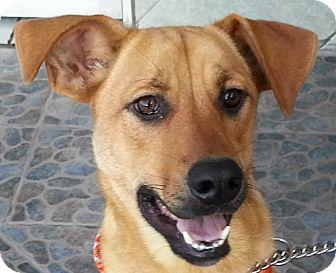 Labrador Retriever Mix Dog for adoption in El Cajon, California - IKE