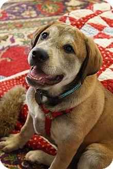 Labrador Retriever Mix Puppy for adoption in Homewood, Alabama - Ginger
