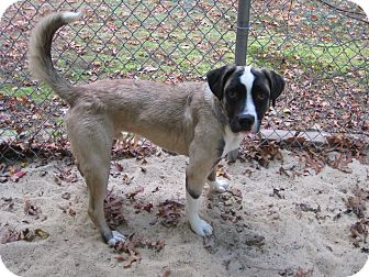 St. Bernard Mix Puppy for adoption in Sudbury, Massachusetts - BARNEY