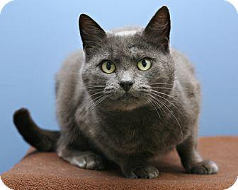 Russian Blue Cat for adoption in Bellingham, Washington - Lulu