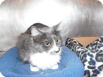 Domestic Mediumhair Cat for adoption in El Cajon, California - Bethany