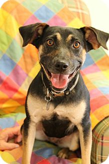 Miniature Pinscher/Terrier (Unknown Type, Medium) Mix Dog for adoption in Huntsville, Alabama - Sadie