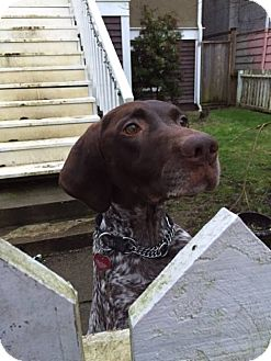 German Shorthaired Pointer Dog for adoption in Vancouver, British Columbia - Oliver - adoption pending