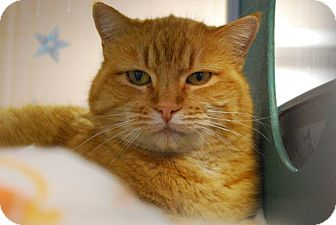 Domestic Shorthair Cat for adoption in Twin Falls, Idaho - Alecia