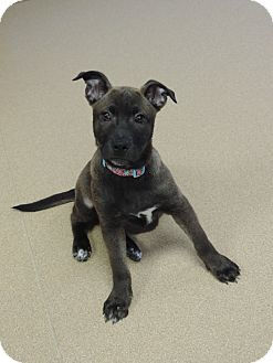 Pit Bull Terrier/Shepherd (Unknown Type) Mix Puppy for adoption in Brookings, South Dakota - Shay