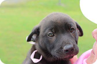 Labrador Retriever Mix Puppy for adoption in Brattleboro, Vermont - Fenta