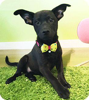 Labrador Retriever Mix Puppy for adoption in Castro Valley, California - Purple