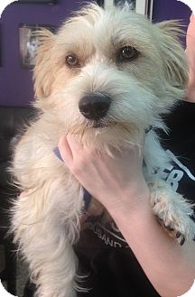 Terrier (Unknown Type, Small) Mix Dog for adoption in Thousand Oaks, California - Barney
