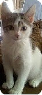 Domestic Shorthair Kitten for adoption in Hillside, Illinois - Crosby-4 MONTHS