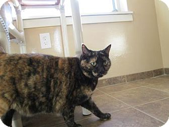 Domestic Shorthair Cat for adoption in Cumming, Georgia - Rose