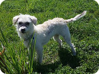 Terrier (Unknown Type, Small)/Poodle (Miniature) Mix Dog for adoption in Pitt Meadows, British Columbia - Sia