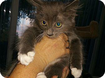 Domestic Mediumhair Kitten for adoption in Grand Junction, Colorado - Larry