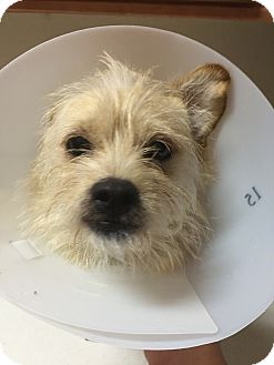 Terrier (Unknown Type, Small) Mix Dog for adoption in Las Vegas, Nevada - Dallas