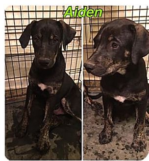 Catahoula Leopard Dog/Weimaraner Mix Puppy for adoption in HARRISBURG, Pennsylvania - AIDEN