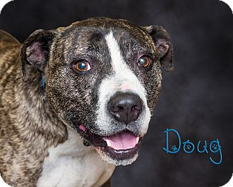 Pit Bull Terrier Mix Dog for adoption in Somerset, Pennsylvania - Doug