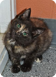 Domestic Shorthair Kitten for adoption in Michigan City, Indiana - Candy