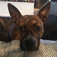 Boxer/Pit Bull Terrier Mix Dog for adoption in Nashville, Tennessee - Buddy