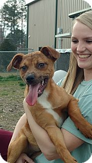 Hound (Unknown Type)/Boxer Mix Puppy for adoption in Newberry, South Carolina - Freckles