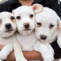 Adopt A Pet :: China Puppies - Males - San Diego, CA