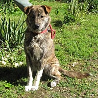 Mountain Cur/Labrador Retriever Mix Dog for adoption in Mountain Home, Arkansas - Carter