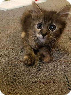Domestic Mediumhair Kitten for adoption in Mansfield, Texas - Bindi