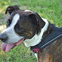 American Staffordshire Terrier Mix Dog for adoption in Livonia, Michigan - Clifford