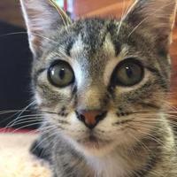 Adopt A Pet :: Shanay Kallu - Wichita, KS