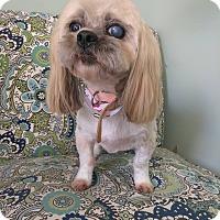 Adopt A Pet :: Amber - Lawrenceville, GA