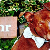 American Staffordshire Terrier Mix Dog for adoption in Grand Rapids, Michigan - Zoro