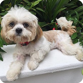 Lhasa Apso/Shih Tzu Mix Puppy for adoption in Los Angeles, California - LOUIE