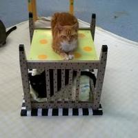 Adopt A Pet :: Ginger Smitten - Brooksville, FL
