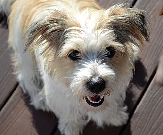 Shih Tzu/Jack Russell Terrier Mix Puppy for adoption in Upper Marlboro, Maryland - Rika