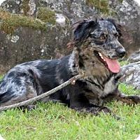 Adopt A Pet :: Galaxy - Brattleboro, VT