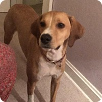 Adopt A Pet :: Josie - Flossmoor, IL