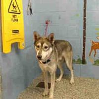 Siberian Husky Mix Dog for adoption in San Bernardino, California - URGENT ON 8/18  San Bernardino