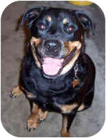 Rottweiler Dog for adoption in Oswego, Illinois - DIZZY