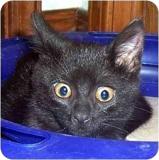 Domestic Mediumhair Kitten for adoption in Oklahoma City, Oklahoma - Frosty
