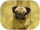 Pug Dog for adoption in Eagle, Idaho - Zoe