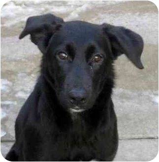 Labrador Retriever/Border Collie Mix Puppy for adoption in Chicago, Illinois - Candy*ADOPTED!*